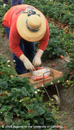 Hand harvesting is still the most important method of harvesting fresh strawberries for the US market.