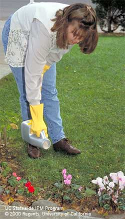 Applying slug-and-snail bait to a flowering border.