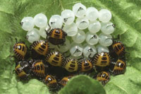 Brown marmorated stink bug eggs and nymphs