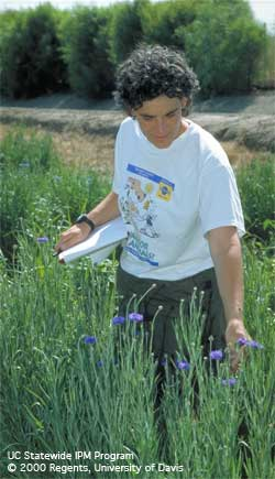IPM Advisor Cheryl Wilen monitoring field-grown cornflowers.