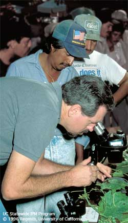 UC IPM staff member Jim Stapelton shows a group of Spanish-speaking vineyard workers how to use a dissecting microscope to identify a powdery mildew.
