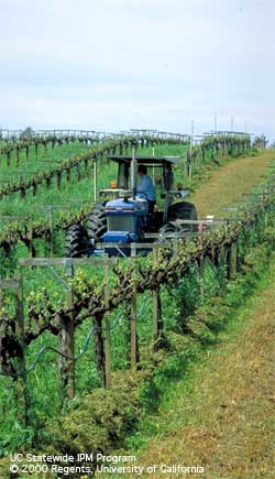 Mowing the vetch cover crop in a California vineyard.