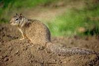 Photo of California ground squirrel