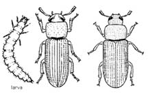 Illustration of confused flour beetle and drugstore beetle