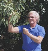 UC IPM Advisor Phil Phillips  inspecting avocado foliage for avocado thrips.