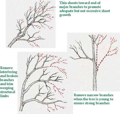 how to prune a mature fig tree