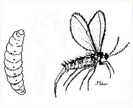 Pupa and adult drawing