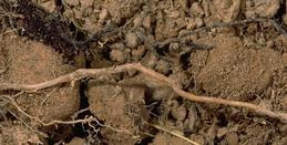 Rhizomorph with healthy root