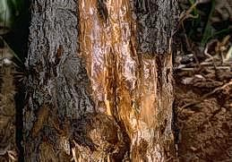 Peel off bark to check for oak root fungus