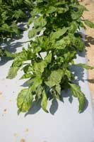 Pepper leaves showing a yellow mosaic caused by Alfalfa mosaic virus.