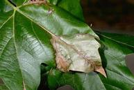 Anthracnose symptoms on sycamore leaf.