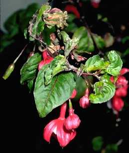 Leaves distorted and thickened from feeding of fuchsia gall mite, Aculops fuchsiae.