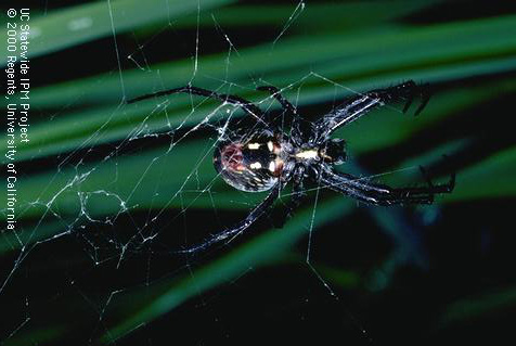 Orb weaver or garden spiders