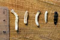 Larva (left), prepupae, pupa, and adult of GSOB.