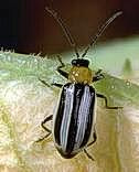 Western striped cucumber beetle