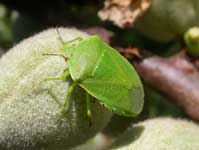 Adult green soldier bug, Acrosternum hilare.