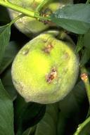 damage produced by stink bugs on peach