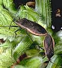 Squash bug adults