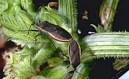 Adults are found mating in the field