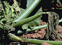 Feeding causes wilting of some plants
