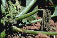 Squash bug feeding causes parts of vines to wilt and die.