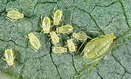 Green peach aphid colony