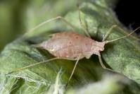 Pink pea aphid