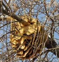 Feral beehive with combs.