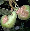 Damage to pears