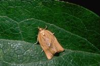 Adult orange tortrix