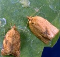 Orange tortrix adults