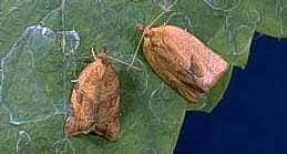 Orange tortrix adult