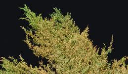 Browning of juniper caused by tip miner