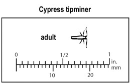 Relative size of adult cypress tipminer.