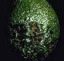 Damage to avocado