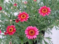 Bright pink blossoms of marguerite daisy, Chrysanthemum frutescens.