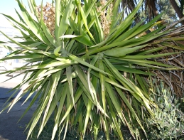 Leaves of Cordyline