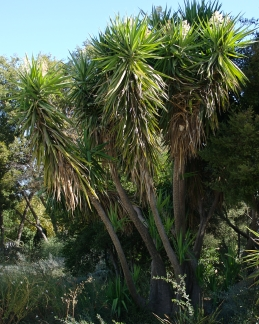 Cabbage tree, Cordyline spp.