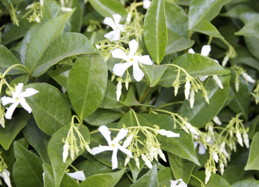 Flowers and foliage of star jasmine