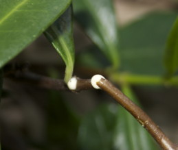 Milky sap exuding from cut stem of star jasmine