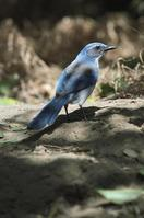 Figure 5. Adult scrub jay.