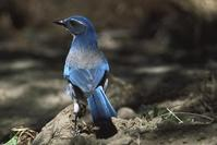 Adult California scrub-jay, Aphelocoma californica.