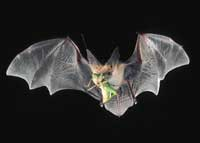 Pallid bat in flight with grasshopper.