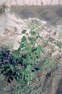 Mature plant of Palmer amaranth.