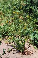 Coast fiddleneck