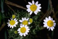 Mayweed chamomille