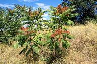 Tree-of-heaven, Ailanthus altissima, plants.