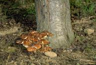 Mushrooms of Armillaria mellea, the cause of Armillaria root rot (oak root fungus).
