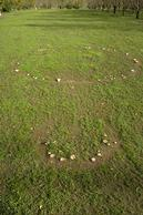 Fairy ring brown field mushrooms, Agaricus cupreobrunneus, fruiting in two circles in a field.