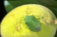 Green stink bug adult and feeding injury on an immature peach.